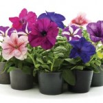 various annual flower pots